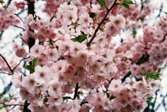 prunus 'Accolade' Prunus, Gardening, Fruit, Blog, Garten, Peach, Cherry, Lawn And Garden, Garden