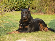 Photograph beauceron is a guard dog by leurenclickbank on All Dogs, Best Dogs, Black German Shepherd Puppies, Really Cute Dogs, Awesome Dogs, Animals And Pets, Cute Animals, Doberman Mix, Saarloos