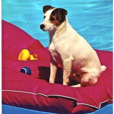 Riley, Jack Russell Terrier