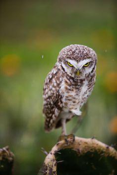 Burrowing owl, by Rhys Logan.