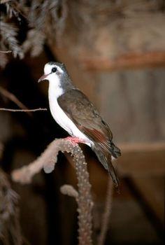 Tambourine Dove (Turtur tympanistria) A male perched in a private collection.
