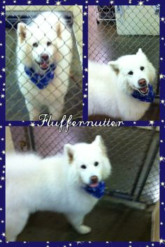 """NO LONGER LISTED Fluffernutter is a Samoyed • Adult • Male • Large • • • at the  West Haven Animal Shelter in #WestHaven, #Connecticut  • • •  Meet Fluffernutter.He is a Samoyed approximately 2-3 years in age.He would do well in a home that has had knowledge of this breed or other """"sled dog"""" breeds.He would also do well in a home where he is an only pet!***We are accepting applications for..."""