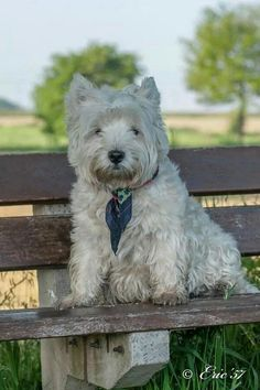 Augues.  Such a handsome Westie.