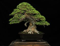 Bonsai name Pemphis acidula Bonsai theme : Hanoman Tree height 50 cm Length pot of 42 cm High pot 10 cm Pot made in cina Design gede merta Collection gede merta