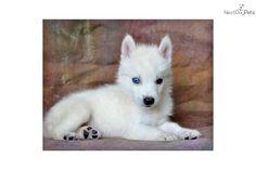Maverick - Male Alaskan Klee Kai for Sale Bear Dog Breed, Teddy Bear Dog, Siberian Husky Dog, Husky Puppy, Alaskan Klee Kai Puppy, Miniature Husky, Husky Breeds, Serval Cats, Plott Hound