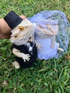 The Bearded Dragon Is The Coolest Reptile In The World Funny Lizards, Pet Lizards, Cute Reptiles, Cute Little Animals, Cute Funny Animals, Bearded Dragon Funny, Bearded Dragon Costumes, Cute Lizard, Baby Dragon