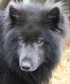 Blue bay shepherd, cross between a timber wolf and German Shepherd or Bergers Shepherd