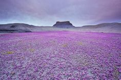 Desert with Phacelia (Scorpion Weed). Flowering once in several years. Native to North and South America