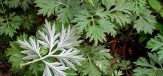Tato úžasná bylinka zabije 98 % rakovinových buněk do 16 hodin