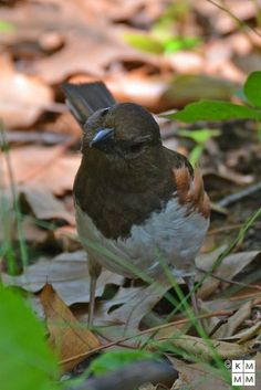 Eastern Towhee | Flickr - Photo Sharing!