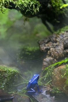 My son breeds reptiles. He's bred a rare dart frog and got to name it. Blue Poison Dart Frog (South America) by LifeInMacro Blue Poison Dart Frog, Poison Dart Frogs, Aquarium Terrarium, Beautiful Creatures, Animals Beautiful, Animals And Pets, Cute Animals, Sapo Meme, Especie Animal