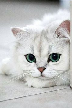 What Makes White Cats So Special Pretty Cats, Beautiful Cats, Kittens Cutest, Cats And Kittens, Funny Animals, Cute Animals, Cute Cat Memes, Cute Cats Photos, White Cats