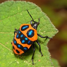 https://flic.kr/p/ucPxTA | Shield-backed Jewel Bug (Poecilocoris druraei, Scutelleridae) | Pu'er, Yunnan, China
