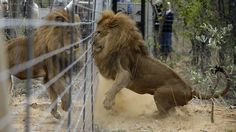 PHOTOS: 33 Rescued Circus Lions Airlifted From Peru To South Africa : The Two-Way : NPR