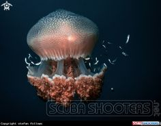 Jellyfish  in Sail Rock - Thailand