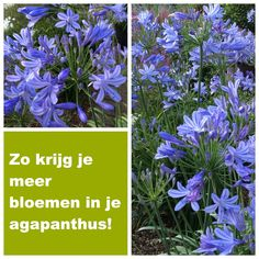 Wil jouw Kaapse lelie niet bloeien? Dan wordt het misschien tijd voor een andere benadering! Lees hier hoe wij het aangepakt hebben. Herb Garden, Garden Plants, Container Gardening, Gardening Tips, Growing An Avocado Tree, Garden Borders, Allium, Garden Care, My Secret Garden