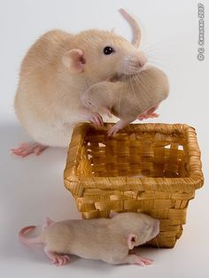 Mummy rat putting her babies to bed