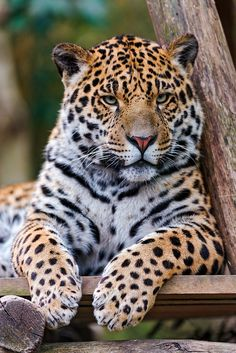 Posing young male jaguar The same kitty as the last picture, just in another position, but as adorable! I Love Cats, Big Cats, Cute Cats, Cats And Kittens, Beautiful Cats, Animals Beautiful, Pretty Cats, Animals And Pets, Cute Animals