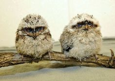 LOL ... Two small, baby owls sitting on a small stick.