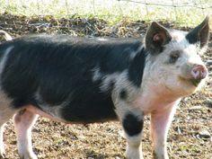 Idaho Pasture Pigs - White Bison Farm