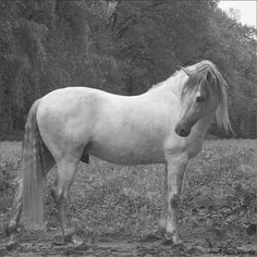 Aurifero in June. Lusitano stallion.