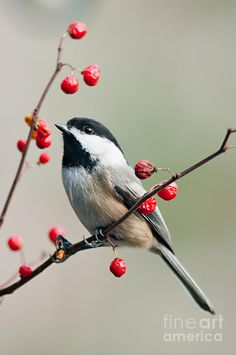 Bird Photograph - Black Capped Chickadee On Berry Branch by Jean A Chang