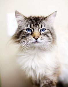 This is Marlowe, a part-Himalayan available for adoption. http://www.petfinder.com/petdetail/22243209  Part of my new project to get beautiful photos of homeless animals to speed adoptions. Photo by Cindy Hughes of Muddy Love Pet Photography.  Orphan Animal Pics