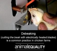 A common barbaric practice on chicken farms: beaks cut off because they are kept in unnaturally crowded conditions; why #vegan