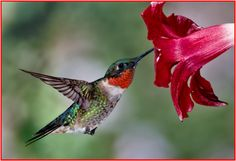 Wild Birds Unlimited | Hummingbirds in Arkansas | Little Rock, AR  Sighted in Mount Ida since May