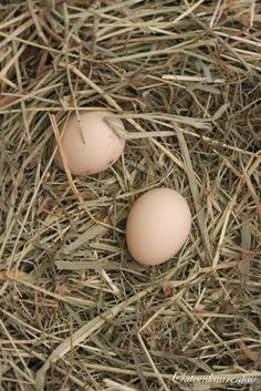 Fresh eggs - I gathered a lot of these growing up - always put them in water to make sure none of the floated - a floating egg is a spoiled egg - the once that stayed on the bottom were stored in the fridge...