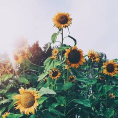 Have you seen the sunflower show at Pope Farm Conservancy yet?