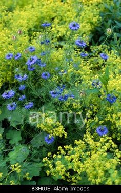 nigella damascena (love-in-a-mist) alchemilla mollis (ladys mantle). bed with combination planting of blue yellow/green flowers / NHPA) - My Cottage Garden Cottage Garden Plants, Blue Garden, Colorful Garden, Shade Garden, Dream Garden, Back Gardens, Outdoor Gardens, Alchemilla Mollis, Garden Borders