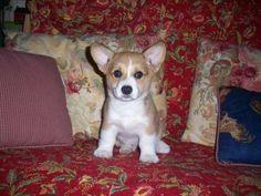 Pembroke Corgi welsh pup