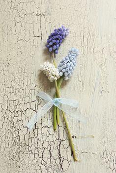 """""""Traubenhyazinthen (Muscari) gibt es in verschiedenen Blautönen und in Weiß."""" - Carlos van der Veek, Blumenzwiebelspezialist von Fluwel"""