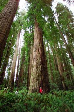 Secuoyas gigantes en el parque estatal de Jedediah Smith, en California (Estados Unidos).