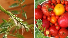 Ako zväčšiť úrodu paradajok o polovicu? Jednoduchý návod! Gardening, Vegetables, Hothouse, Hacks, Plants, Garten, Vegetable Recipes, Lawn And Garden, Horticulture