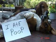 Loud and proud =) OMG All Bassets are the same...