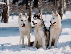 Huskies are medium-sized working dogs that range from 20 to 23 ½ inches tall and weigh between 35 and 60 pounds. They have a thick, dense undercoat and a long, coarse top coat. Colors are usually black, brown, white or a mix with varying head markings. The eye color varies but is usually blue.
