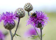 ostropestřec1 Dandelion, Flowers, Plants, Fitness, Dandelions, Plant, Taraxacum Officinale, Royal Icing Flowers, Flower