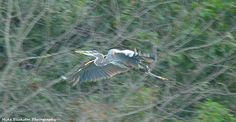 Blue Heron spooked and chased away at Parker Pond on Maple Beach.