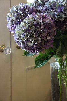hydrangea classic purple