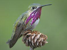 Calliope Hummingbird (Stellula calliope) by ER Post on Flickr.