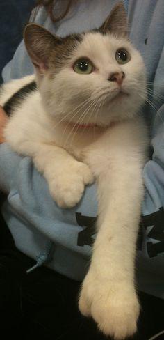 Hope: Hemingway kitty polydactyl