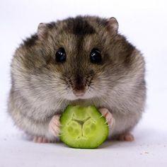 Estes Hamsters Deixarão Seu Dia Mais Doce!                                                                                                                                                                                 Mais