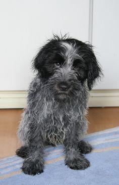 Drikus, week 13, after he fell in de canal. Schapendoes (Dutch Sheepdog)