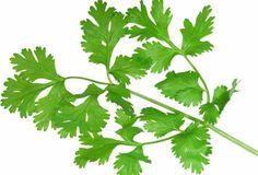 Peršun je dvogodišnja zeljasta, aromatična biljka, porekiom iz zemalja oko istočnog dela Sredozemnog mora. Upotreba - Peršun se koristi kao diuretik...