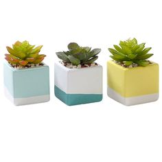 3 Succulents in Ceramic Pots 5.5 in