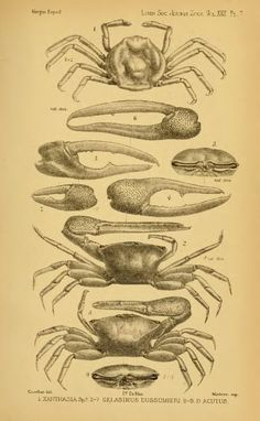 Report on the Podophthalmous Crustacea of the Mergui Archipelago, collected for the Trustees of the Indian Museum, Calcutta, by Dr. John And...