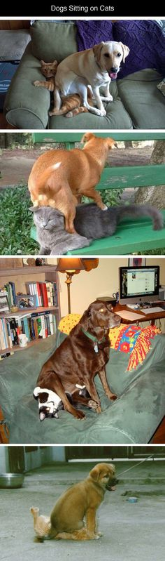Dogs Sitting on Cats