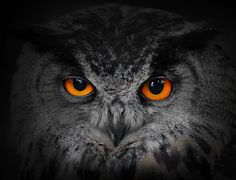 Wallmonkeys The Evil Eyes Eagle Owl Bubo Bubo Peel and Stick Wall Decals WM69116 (36 in W x 28 in H) *** Visit the image link more details. (This is an affiliate link) #HomeDecor